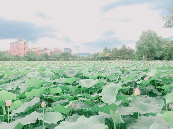 Park Lotus Flower