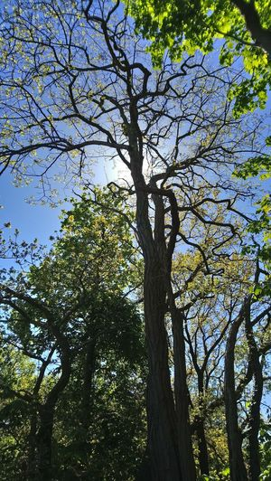 Hiding Sun Tree Branch Forest Tree Trunk Sky Green Color Tree Canopy  Treetop Long Shadow - Shadow Leaves