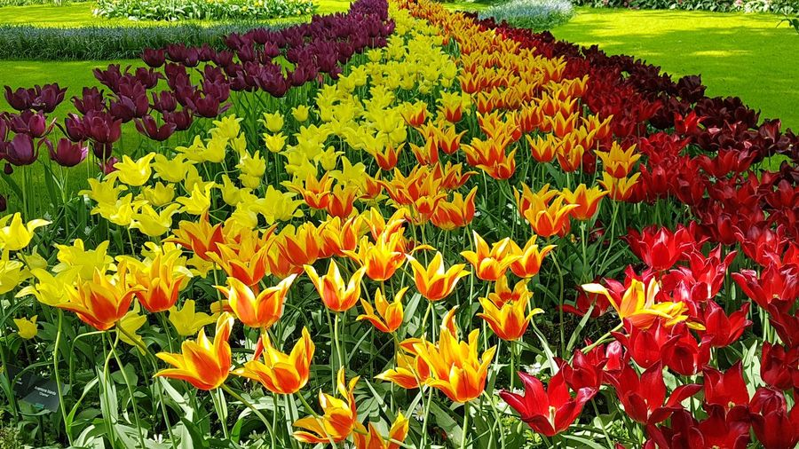 Rivers of flowers Park Park - Man Made Space River Orange Yellow Red Travel Travelling Travelling Photography Keukenhof Garden Keukenhof Flower Head Flower Flowerbed Yellow Field Springtime Multi Colored Plant Life In Bloom Blooming Blossom This Is Natural Beauty