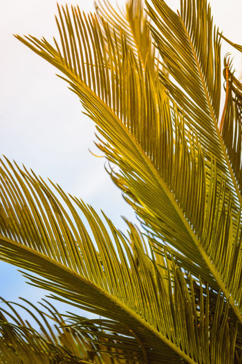 Palm Beauty In Nature Close-up Coconut Palm Tree Day Frond Green Color Growth Leaf Leaves Low Angle View Nature No People Palm Leaf Palm Tree Plant Plant Part Sky Sunlight Tranquility Tree Tropical Climate Tropical Tree Yellow