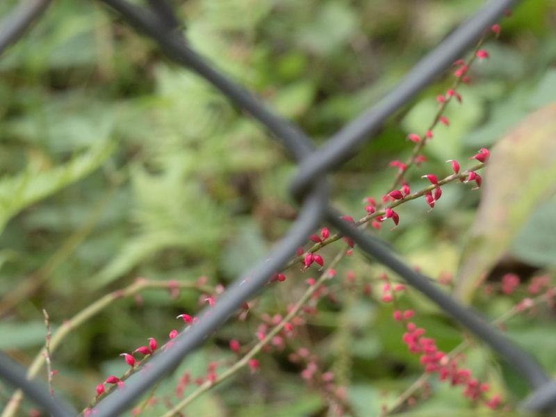 ペンタックス PentaxQ7 Q7 Plant 小金井公園 Koganei Park 草花 Red Nature Beauty In Nature フェンス
