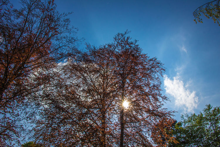 Red Beech in early summer Clear Sky Fagus Sylvatica Green Red Red Leaves Tree Trees Beauty In Nature Beech Blue Blue Sky Branch Cloud - Sky Growth Low Angle View Nature No People Outdoors Red Beech Sky Sun Sunlight Tree