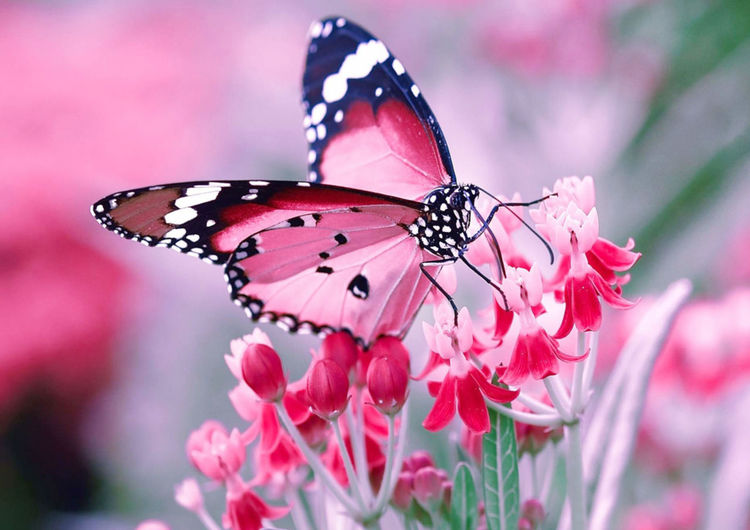 butterfly First