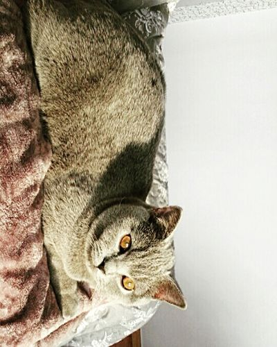 Cats One Animal Animals In The Wild Cat British Cat British Shorthair Kot Kot Brytyjski