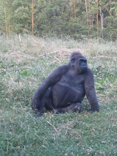 Gorilla chilling Grass One Animal Animals In The Wild Ape Nature Mammal Animal Wildlife Animal Themes Monkey No People Outdoors Day Gorilla Silverback Gorilla