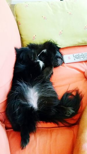 Typical Saturday night. Not even eight o'clock and already passed out on the couch Saturdaynight Goofing Off Furry Children Pekingese Dogdaysofsummer Enjoying Life Pet Photography  Puppy Love Check This Out