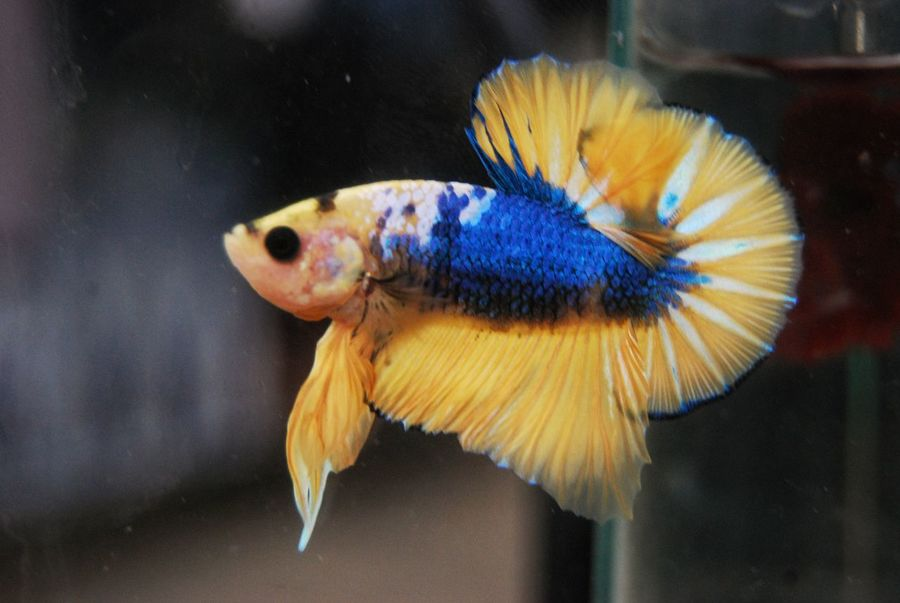 Betta Fish Aqaurium Bettafishcommunity Betta  Bettafish Inspired Pet Photography