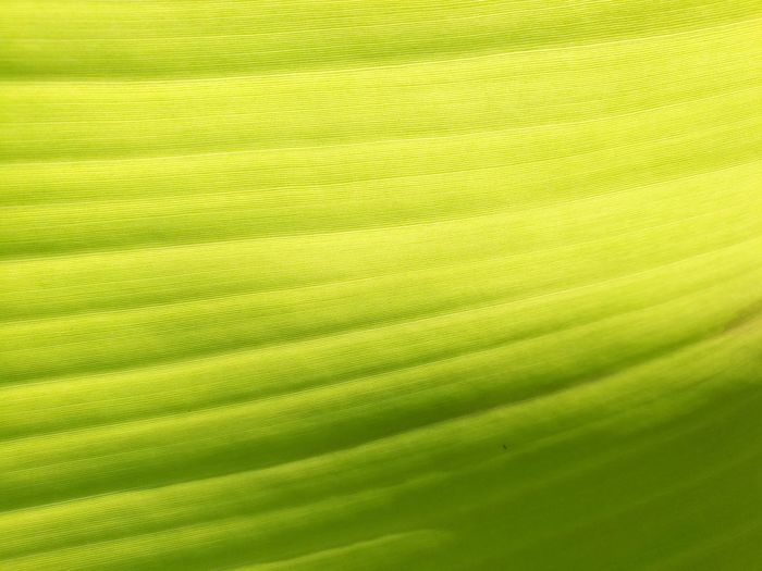 Banana leaves Background Banana Leaf Textured  Beauty In Nature Beautiful Light X-Ray Backgrounds Leaf Full Frame Textured  Abstract Close-up Green Color Plant