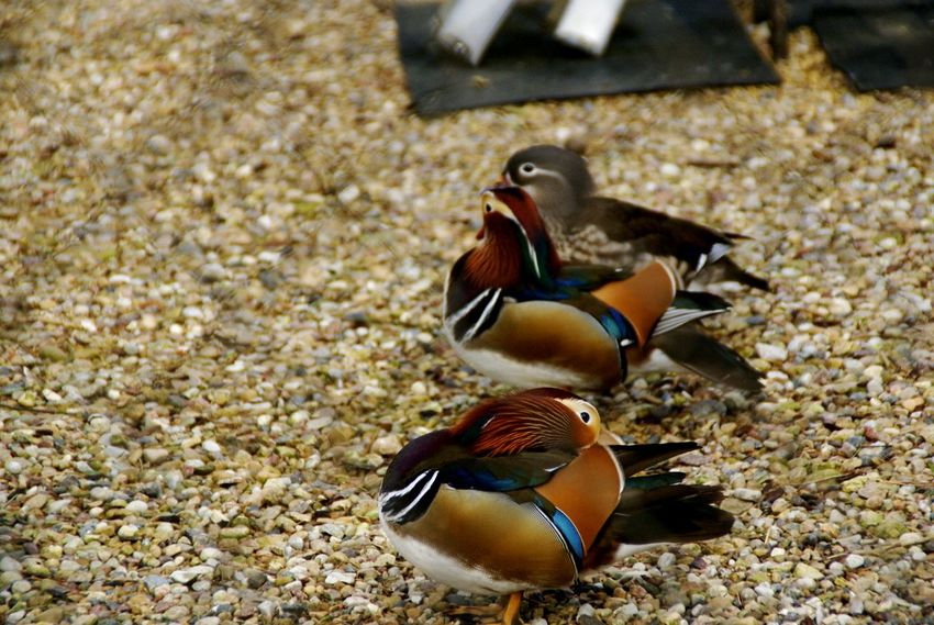 Bird Animal Wildlife Mandarin Duck Animals In The Wild No People Outdoors Day Duck Ducks Spring Domestic Animals Travel One Animal Entertainment Mammal Zoo Zoophotography Zoo Animals  Sky Animal Nature Colorful Plumage Pile Feather  Adapted To The City