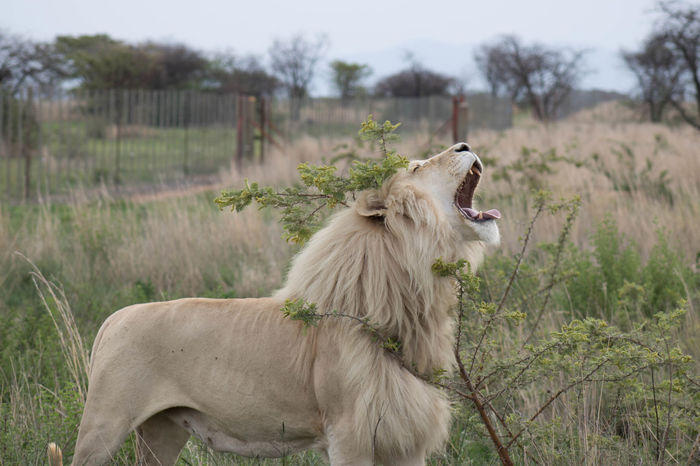 Animals In The Wild Animal Wildlife Animal Roaring One Animal Landscape Safari Animals Lion - Feline Nature Day Outdoors Animal Themes No People Yawning Mammal Lioness Grass Majestic Proud Lion King  Looking At Camera RebelT6i