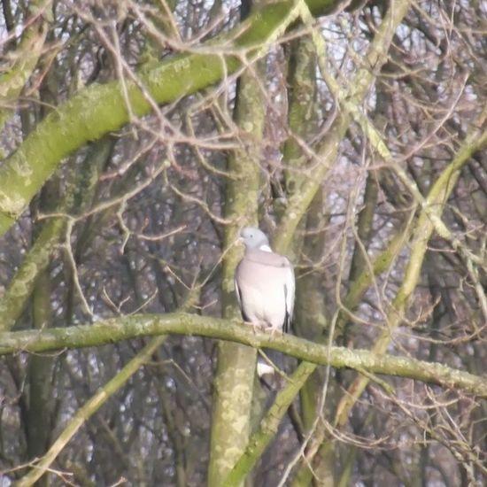 Pigeon Tree Duif Boom tak