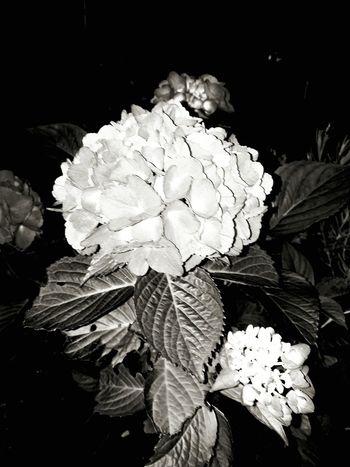 Blume Black And White Night