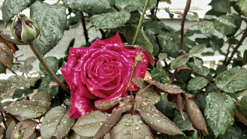 Rosé Plant Growth Leaf Plant Part Beauty In Nature Close-up Nature