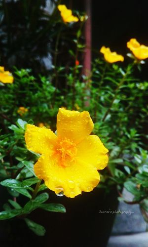 EyeEm Yellow Flower Photography Raindrops EyeEm Best Shots - Nature EyeEm Best Shots Nature Photography Eyeem Photography EyeEm Gallery Macro_collection EyeEm Nature Lover Fllowers Lovers EyeEm Flowers Collection Blooming Rain Drops On Leaves Sunset #sun #clouds #skylovers #sky #nature #beautifulinnature #naturalbeauty Photography Landscape [a:8643492] Focus On Foreground flower collectIon Eyeem Raindrops Colle