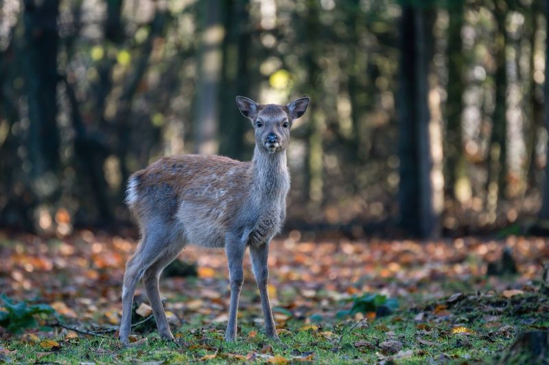 Schleswig-Holstein Sherleben Animal Themes Animal Animals In The Wild Animal Wildlife One Animal Mammal Vertebrate Focus On Foreground Looking At Camera Day Portrait Nature Standing Deer