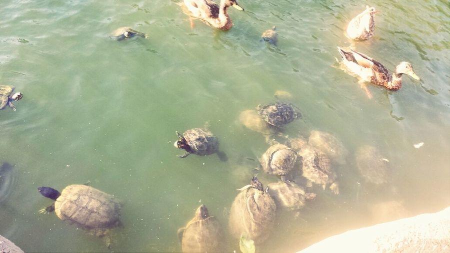 Feeding the ducks, turttles, and koi fish