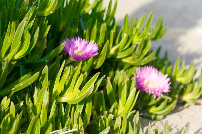 Beauty In Nature Blooming Bud Close-up ICE PLANT Flower Flower Head Focus On Foreground Fragility Freshness Green Color Growing Growth In Bloom Iztuzu Leaf Lotus Water Lily Nature Petal Pink Color Plant Pond Purple Stem Water Lily