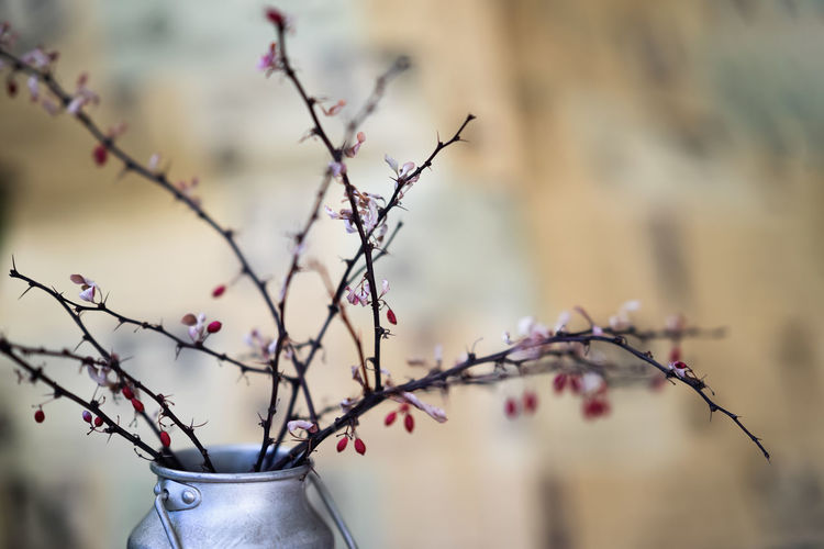 Dry thorny branches with berries in a metal jug, still life, in the style of ikebana on a light background. Selective focus No People Day Branch Plant Tree Nature Close-up Flower Beauty In Nature Flowering Plant Springtime Fruit Plum Blossom Cherry Blossom IKEBANA Jug Still Life Japanese  Japanese Culture Dry Art Bouquet Jars  Season  Scenic