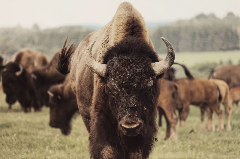 Close-up of american bison on field
