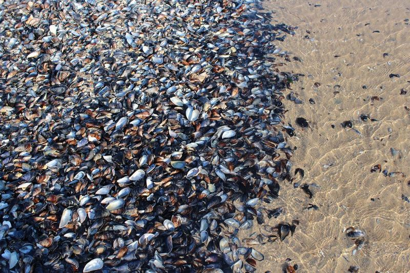 High angle view of mussels at beach