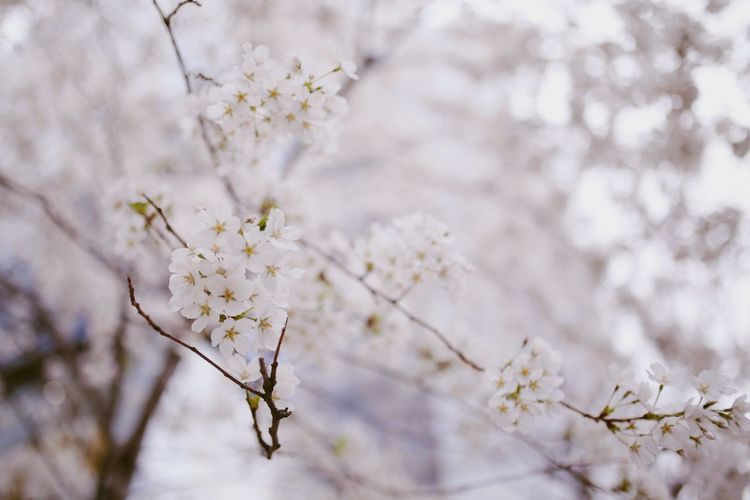 Cherry Blossom 🌸 Season  Festival Pink Sakura Plant Fragility Vulnerability  Flowering Plant Flower Beauty In Nature Growth Nature Focus On Foreground Springtime Blossom