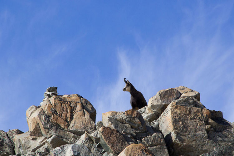 Low angle view of mountain goat on rocks against sky