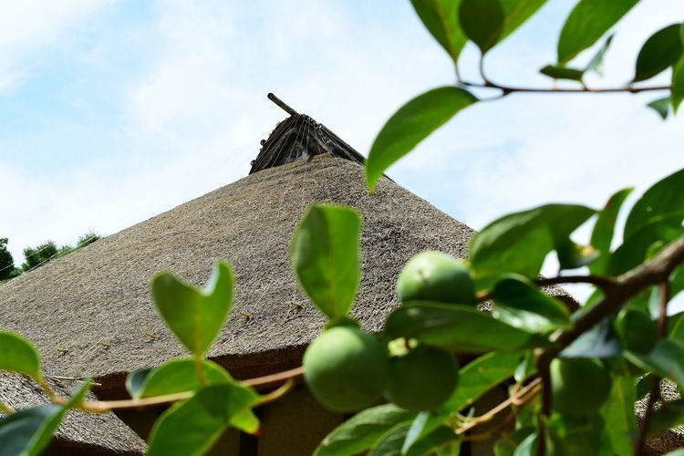 Old Folk House And Persimmon Preparation For Autumn Ancient Civilization Architecture Beauty In Nature Building Exterior Built Structure Close-up Cloud - Sky Day Green Color Growth History Leaf Low Angle View Nature No People Outdoors Plant Sky Tree