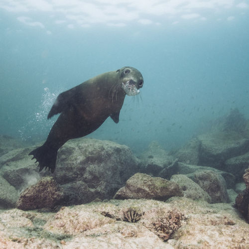 Animal Themes Animal Wildlife Underwater Animals In The Wild Animal Sea One Animal Water Swimming Nature UnderSea Sea Life Marine Vertebrate Day No People Mammal Rock Beauty In Nature Sea Lion Turquoise Colored