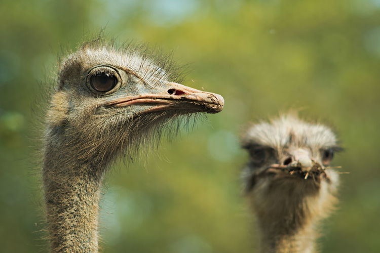 Close-up of ostriches