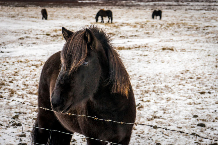 A beautiful blond haired dark furred icelandic horse, with others in the snow covered background