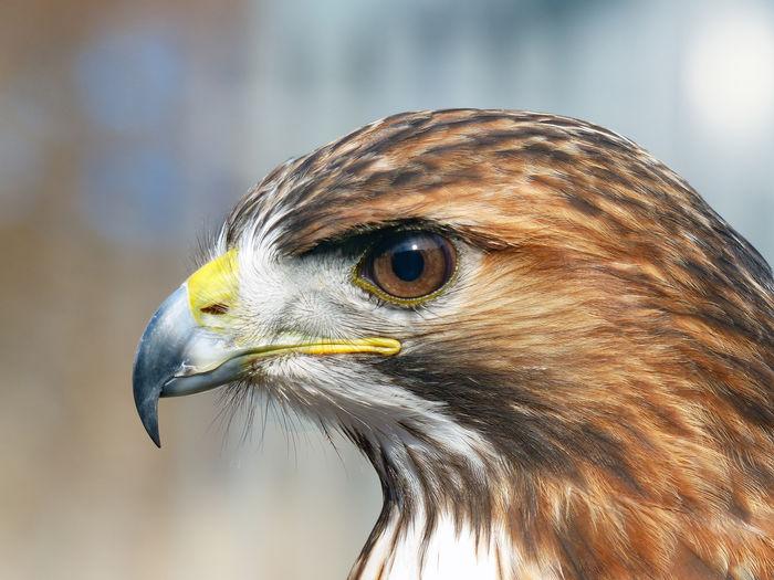 Close-up of a bird of prey looking away
