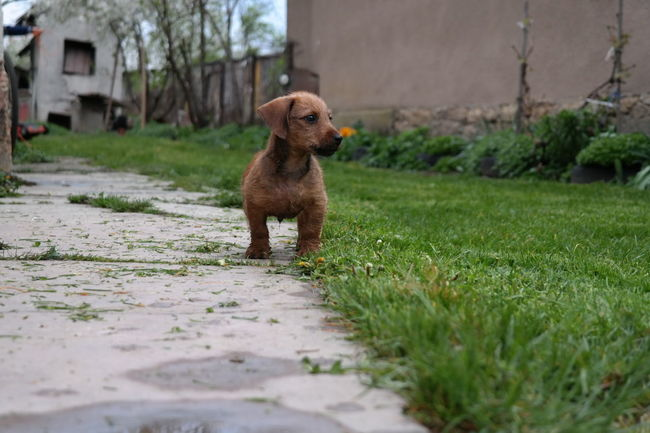 Animal Themes Animals In The Wild Dachshund Day Dog Domestic Animals Field Focus On Foreground Grass Looking Away Mammal Nature No People One Animal Outdoors Pet Pets Puppy Puppy Love Sitting Walking Weeniedog Wirehaired Wirehaired Dachshund