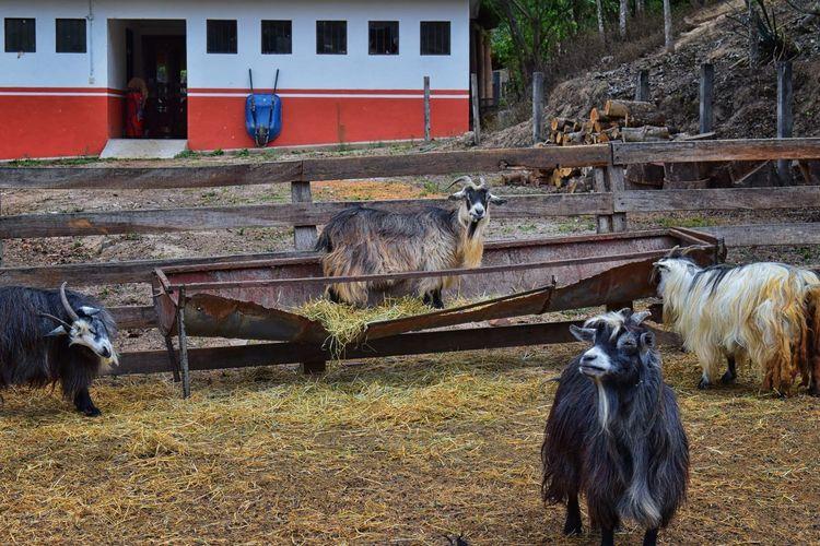 Miniature long haired pet goats with horns in rural farm by zipline tour near Puerto Vallarta Mexico. CAPRA Farm Goat Graze Horns Livestock Mexico Aegagrus Billies Ears Eukaryotic Herbivorous Hijaze Hircus Hoofed Hooves Long Hair Meat Metazoa Miniature Miniature Goat Nannies Pet Puerto Vallarta