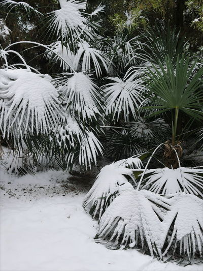 Tree Snow Cold Temperature Winter Snowing Frozen Polar Climate Forest Mountain Pinaceae Snow Covered