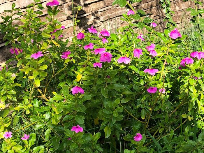 Garden Garden Flowers Plant Flower Flowering Plant Growth Beauty In Nature Fragility Vulnerability  Freshness Nature Field Green Color Pink Color Petal Flower Head