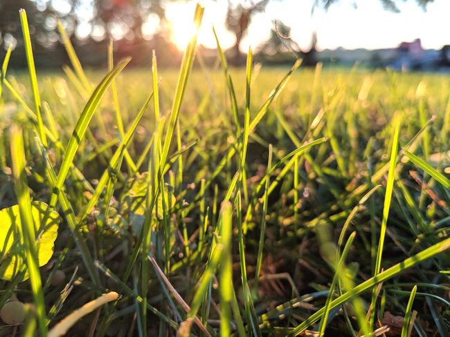 That tickly feeling from grass😊 Green Color Grass Growth 10 Day Glare Sunset Sun Backgrounds Cereal Plant Rural Scene Agriculture Tree Field Sky Close-up Landscape Plant Silhouette Shining Sunbeam Grass Area Growing Full Frame