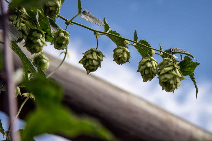 Fresh Hop (Beer Ingredient) Agriculture Beauty In Nature Beer Brew Brewery Close-up Day Fresh Haircut Hop Ingredient Ingredient For Beer Leaf Lupulo Nature No People Outdoors Root Beer