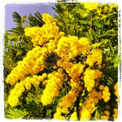 Sarò banale ... buon 8 marzo a tutte le donne. Womensday Mimose Instaflowers Instagirly flowers