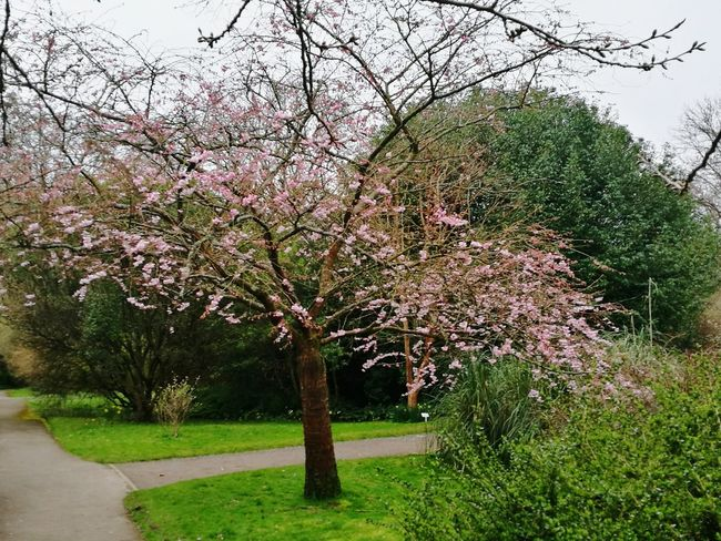 Tree Growth Nature Beauty In Nature Outdoors No People Day Branch Sky Cherry Blossoms Tranquil Scene