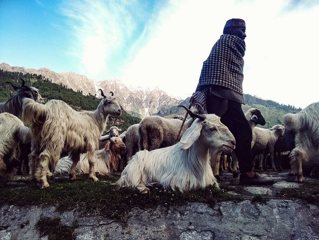 Sheperd Daily Life Random People Sheep🐑 Indianstories Scenery Landscape Mountain Himalayas Manali India Cellphone Photography