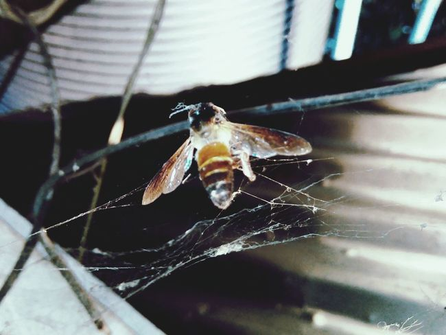 Nature On Your Doorstep A bee got stuck onto spider's web.