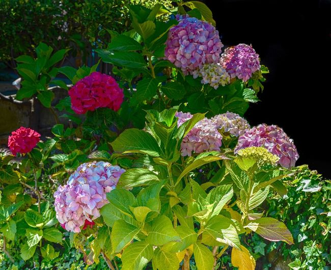 Hydrangeas in full bloom Leaf Flower Plant Nature Green Color Growth Purple Beauty In Nature No People Fragility Outdoors Freshness Day Flower Head Close-up