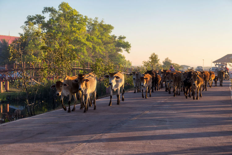 Beef cattle in Thailand Animal Themes Animal Road Domestic Animals Mammal Domestic Tree Vertebrate Cattle Transportation Group Of Animals Livestock Pets Plant Nature Sky Street Domestic Cattle Cow City No People Outdoors Herd Herbivorous