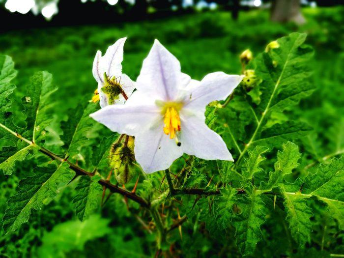 Flower Flowerporn Flowers, Nature And Beauty Plant Star Flower Full Frame Nature Thorns White Flower EyeEmNewHere