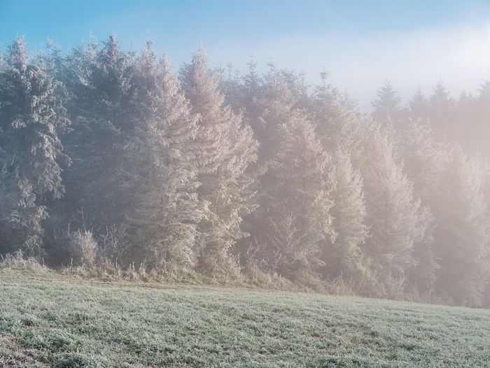 Plant Tree Land Nature Beauty In Nature Tranquil Scene Tranquility No People Day Environment Forest Scenics - Nature Field Grass Growth Winter Landscape Outdoors Sky Coniferous Tree Pine Tree WoodLand Pine Woodland Fir Tree Fog
