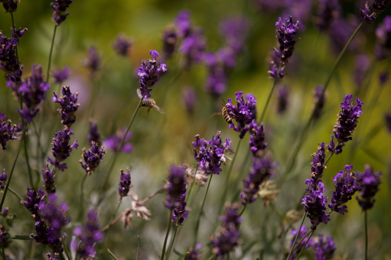 growth, purple, flower, nature, fragility, beauty in nature, plant, no people, lavender, day, outdoors, blooming, freshness, close-up, flower head