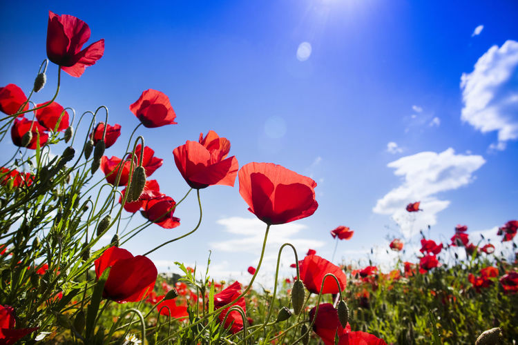 Poppy Red Nature Flower Meadow Colored Plant Landscape Garden Rural Countryside Beautiful Wild Spring Season  Flora Petal Botanical Bloom