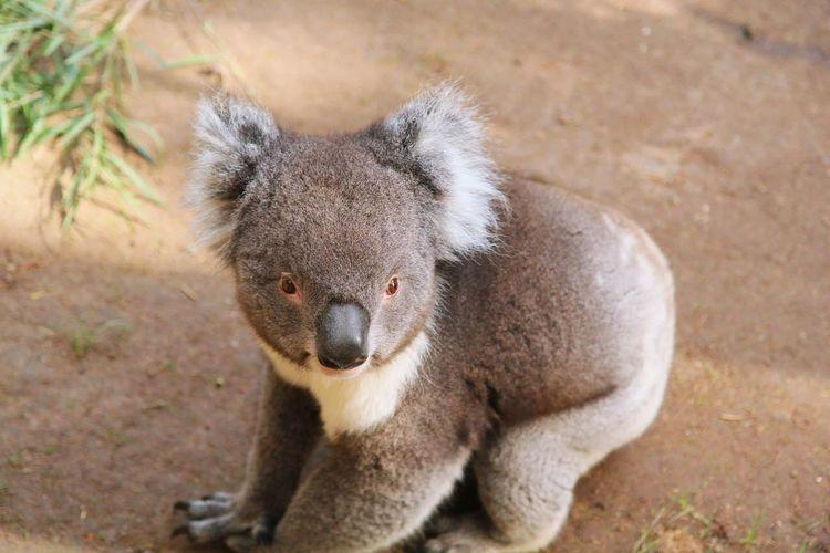 Koala, Australia. Australia Ballarat Wildlife Park Ballarat  Wildlife Photography Travel Photography Travel Destinations Australia & Travel Tourism EyeEm Selects Baboon Koala Portrait Sitting Looking At Camera Close-up Primate