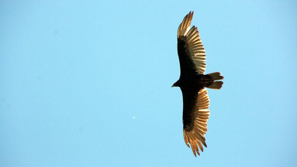 Eagle Birds Bird Photography Birds_collection Birdwatching Bird In Flight Birds Of EyeEm  Bird Of Prey
