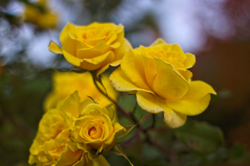 Beauty In Nature Blooming Close-up Day Flower Focus On Foreground Freshness Nature No People Outdoors Rose - Flower Yellow